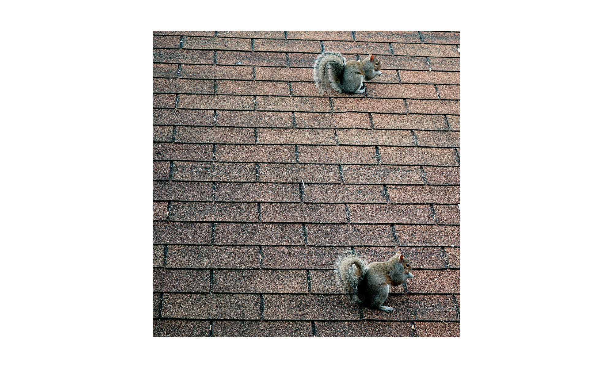 """""""Two Squirrels Eat As One"""" - Stretched and mounted canvas photo print"""