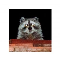 Tanuki, Zen A.F. - Stretched Canvas Print
